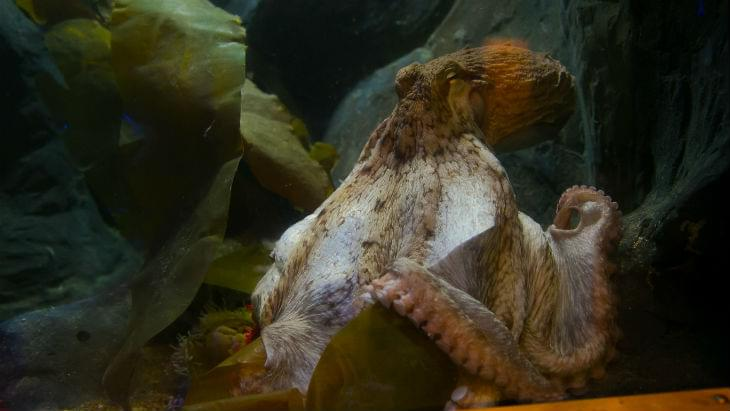 Giant Pacific Octopus | Neptune | National Marine Aquarium