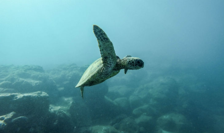 turtle-swimming-Ocean